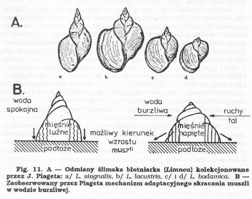 4. Slimaki Piageta